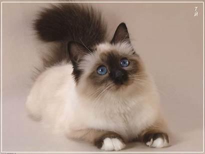Siamese Cats Cat Persian Kittens Kitten Adorable