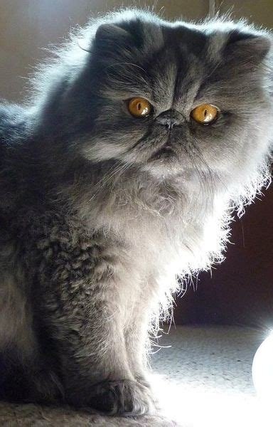 beautiful persian cat pictures