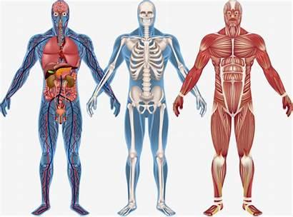 Anatomia Human Anatomy Clipart Humano Transparent Esqueleto