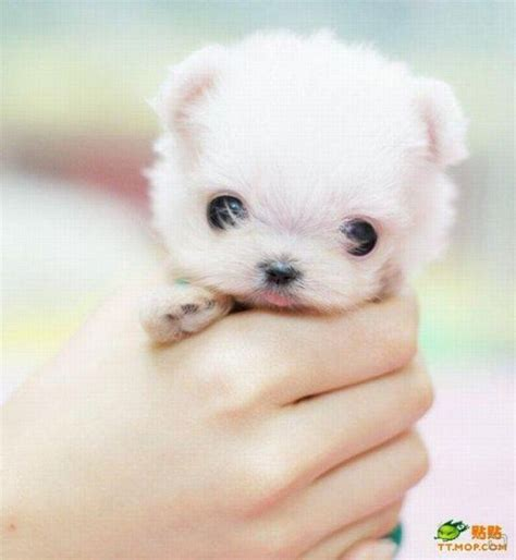Small Dogs That Stay Small And Don T Shed by Dogs That Stay Small Hubpages