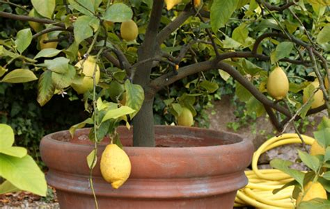 caring for lemon trees in pots how to plant lemon lime orange trees realestate au