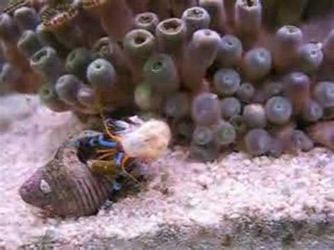 bernard l hermite ss coquille aquarium r 233 cifal eau de mer