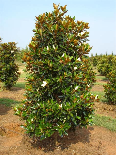 magnolia evergreen varieties magnolia grandiflora little gem havlis cz
