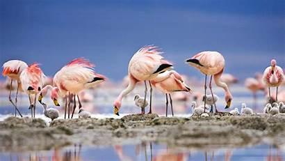 Flamingos Flamingo Laguna Bolivia Colorada James Facts