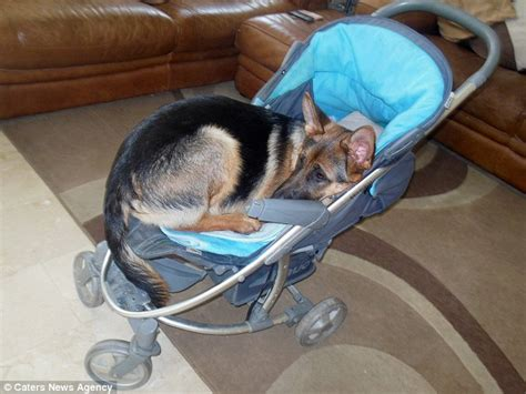 meet  german shepherd puppy karma  thinks