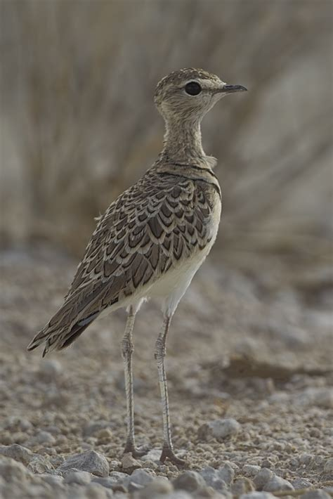 Doublebanded Courser Wikipedia