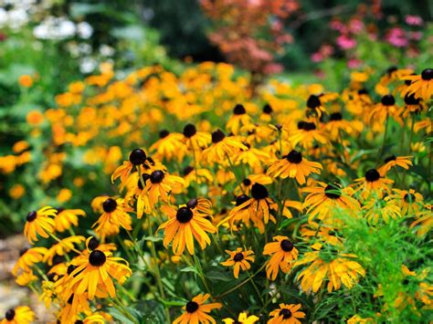 do perennials grow back every year what is a perennial diy