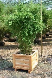 Bambus Pflege In Der Vase : bambus pflanzenshop bambus als k belpflanze auswahl und ~ Lizthompson.info Haus und Dekorationen