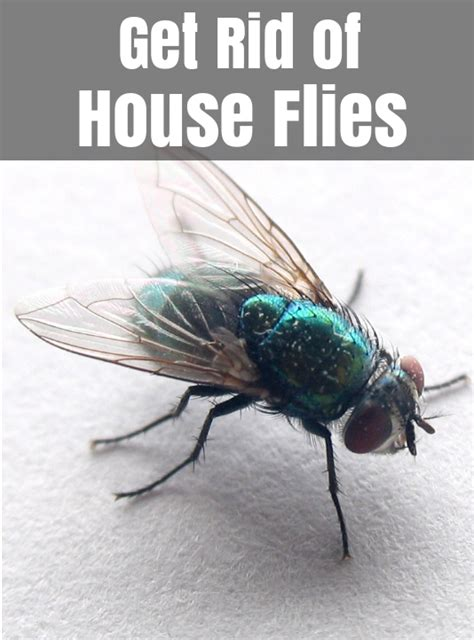 How To Get Rid Of Flies?  Home Remedies To Control House Fly