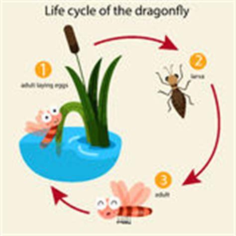 cycle de vie de libellule illustration stock image 57920552