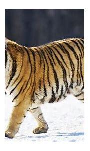 Bengal Tiger Vs Siberian Tiger (Interesting Fact Explained ...