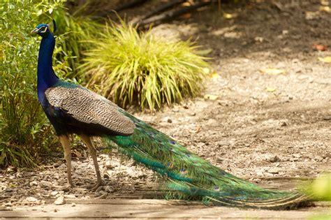 Peafowl  New Zealand Birds Online