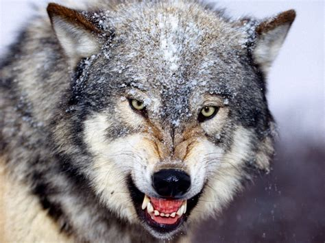 mad wolf wallpapers hd wallpapers id