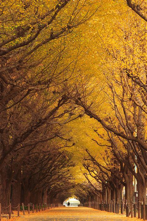 japanese ginkgo 19 magical tree tunnels you should definitely take a walk through bored panda