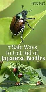 Get rid of asian beetles