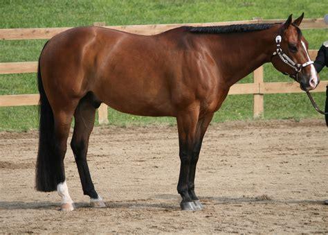 English Saddle Fit for Quarter Horse