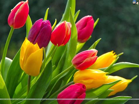 garden tulips flower jpg hi tulip wallpapers keywords here