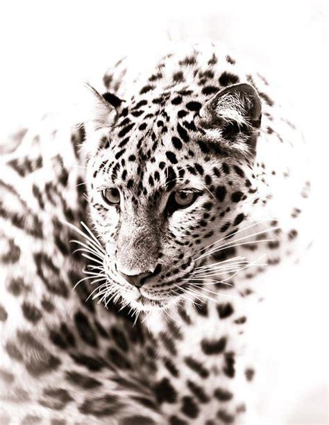 leopard fine art monochrome animal photography  bethwold