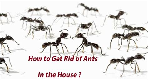 ants in the house how to get rid of ants in the house