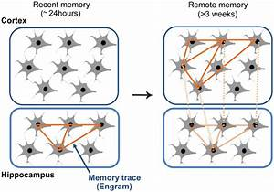 Systems memory consolidation theory. Autobiographical ...