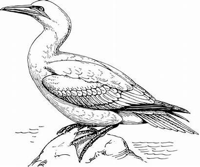 Bird Gannet Cocrico Coloring Colouring Clipart Trinidad