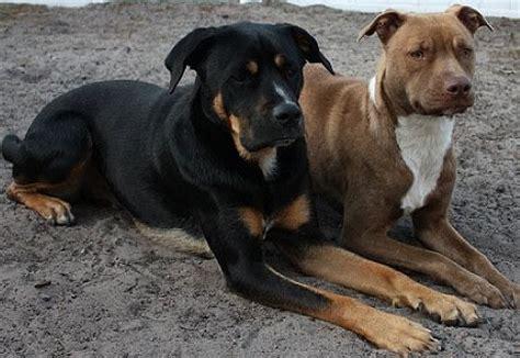 eating dog poop rottweiler  pitbull living