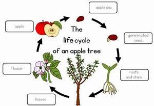Apple Tree Life Cycle Bundle By Little Blue Orange