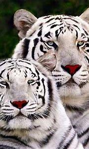 Wonderful.   Wild animal wallpaper, Animals wild, White tiger