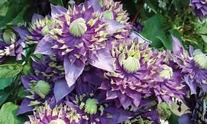 Clematis Im Topf : 1x oder 2x clematis taiga pflanze groupon ~ Lizthompson.info Haus und Dekorationen