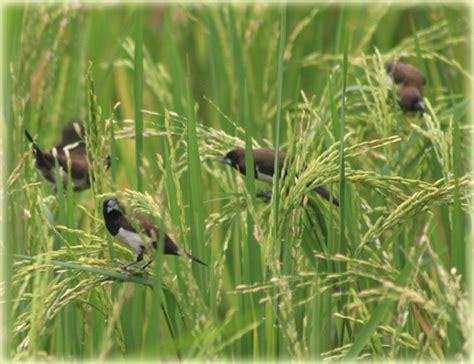 inilah membasmi hama burung tanaman padi dasar