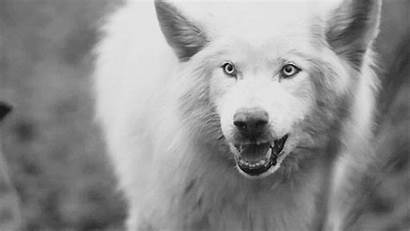 Wolf Snarling Animal Wolves Snarl Wild Call