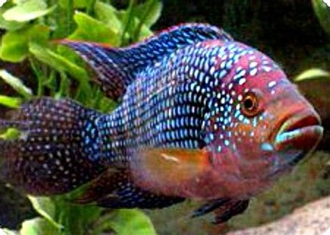 most colorful cichlids 17 best images about south america cichlids on