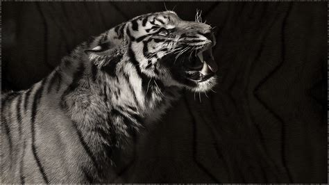 Grey Animal Wallpaper - black and white tiger wallpaper 60 images