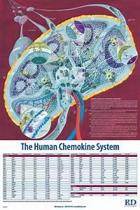 The Human Chemokine System  R U0026d Systems