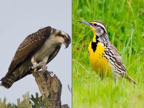 oregon senators think osprey should replace meadowlark as