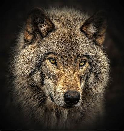 Geographic National Wolf Close Timber Wolves Shot