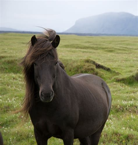 icelandic horse ponies pony sturdy wikipedia hestur murder strong