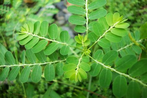 tanaman obat  menyembuhkan asam lambung obat