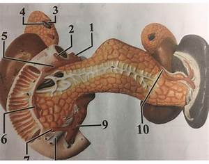Pancreas Spleen Kidney  Anterior View