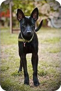 Steilacoom, WA - Basenji. Meet Bibi a Dog for Adoption.