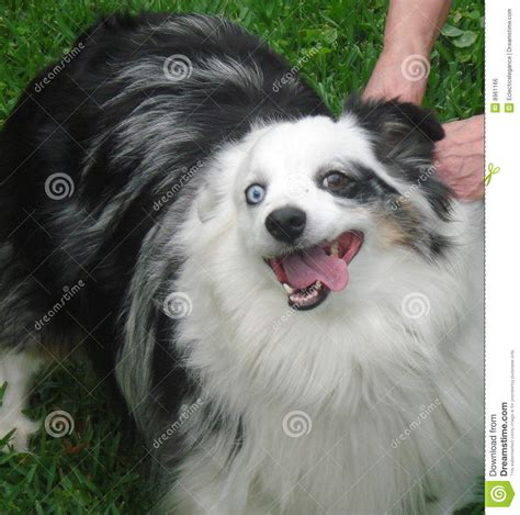 smiling mini australian shepherd stock photo image