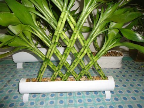 bambu in vaso bambu da sorte arranjo sem vaso r 60 00 em mercado livre