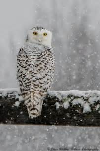 Nature Photography Snowy Owl