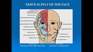 10 Nerve Supply Of The Face Sensory Trigeminl N
