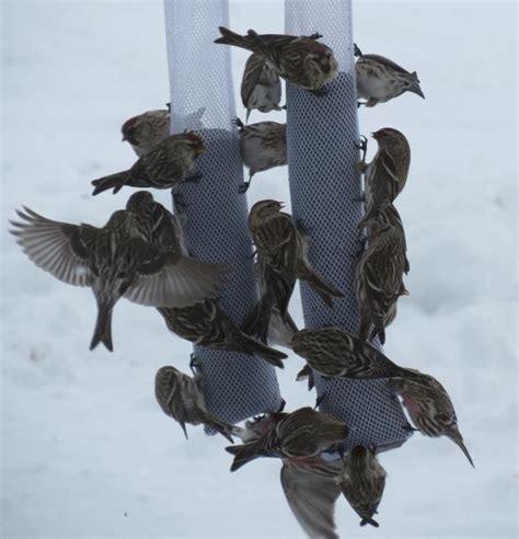 thistle don t blame the bird seed garden org