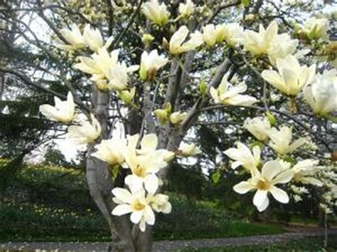 facts about magnolia trees fun facts about magnolias having roamed earth before bees evolved magnolia trees are