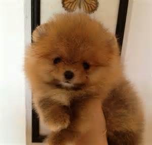 Mini Chow Chow Puppies