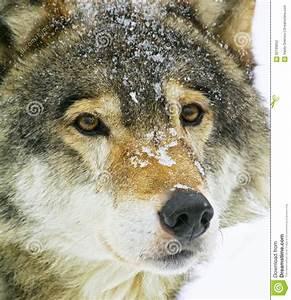 Wolf, Stock, Photo