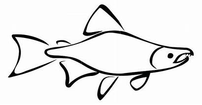 Fish Salmon Outline Clipart Carp Drawing Tank