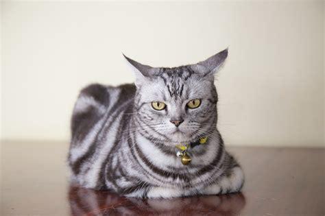Blog  American Shorthair Cat Facts